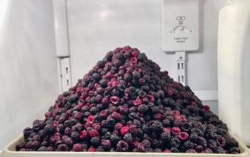 Rapids Cemetery Black Raspberry Season