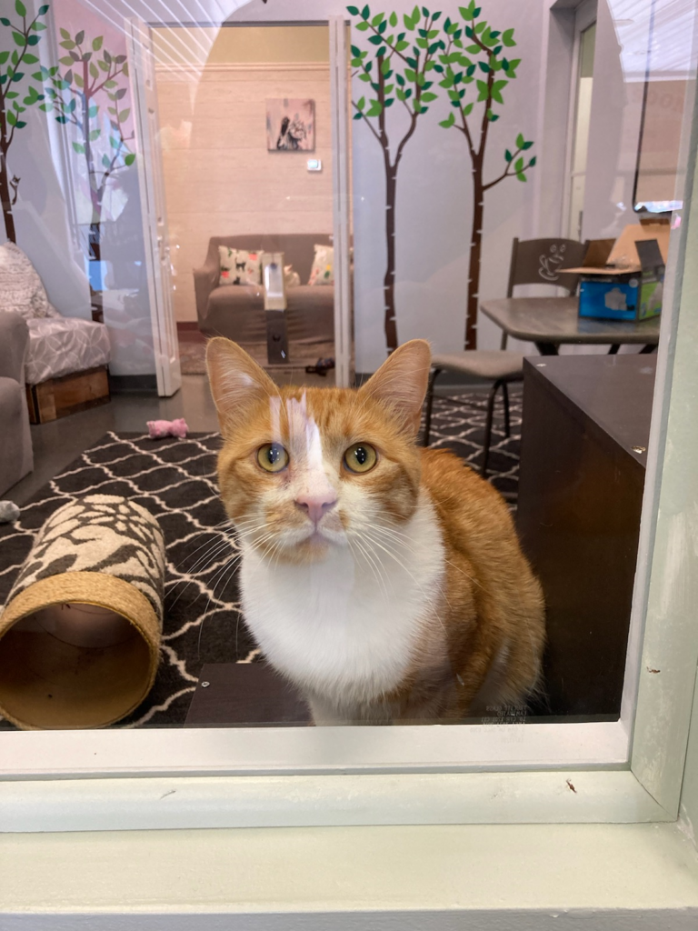 Jackson, an orange cat white a white bib and white sections on his face, gazes through a window with amber eyes.